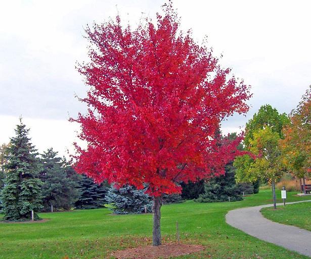 Vivaio Acero Rosso : Acero vivaio bizzarro